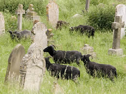 Sheep keeping the grass short